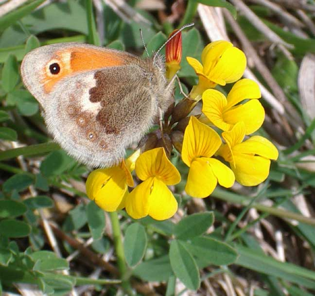 Small Heath on Horseshoe Vetch