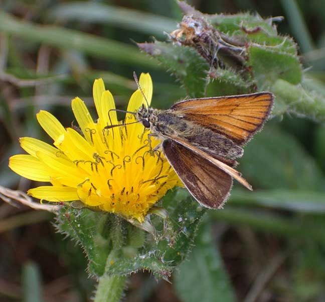 Essex Skipper ?