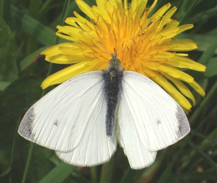 The Small White Butterfly was flighty and it it took a few minutes to settle