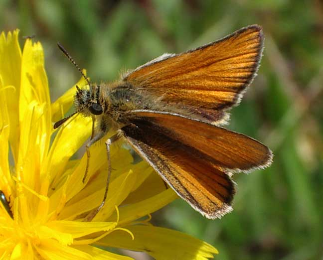 Small (or Essex) Skipper