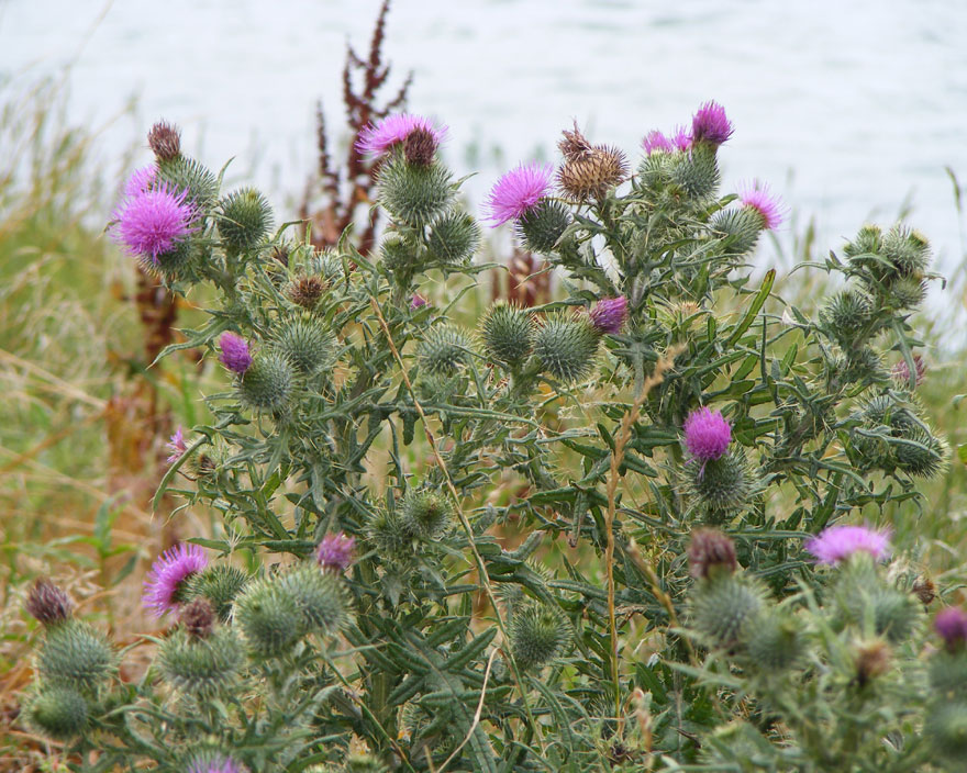 Spear Thistle on the towpath north of the Toll Bridge