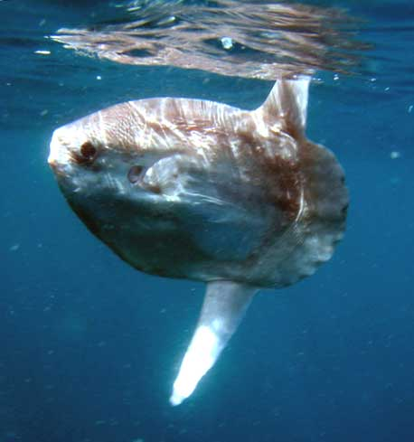 Sunfish (Photograph by David Riordan)