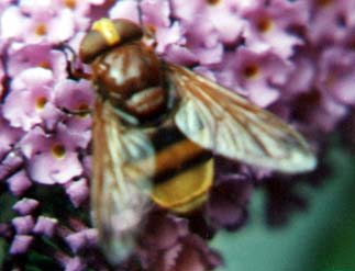 Volucella zonaria  (Photograph by Andy Horton)