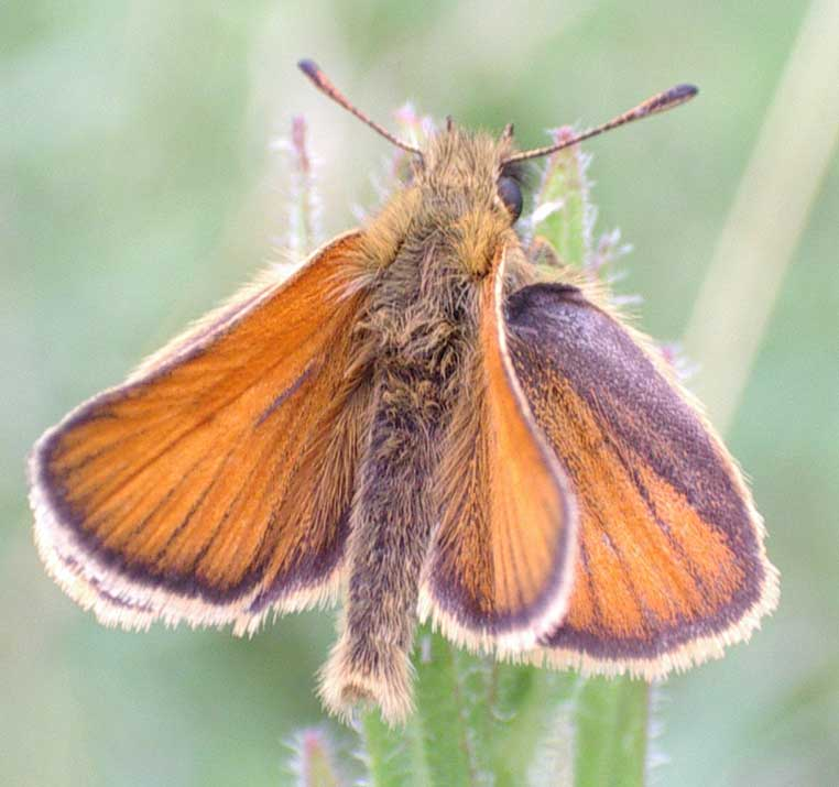 Small (or Essex) Skipper photographed near the Steyning Road (footpath at the western entrance to the Maple Spinney) appeciably smaller than the Large Skipper