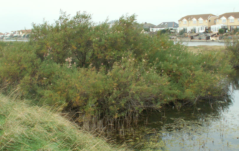 The birdwatchers said that the Water Rail was hiding under this Tamarisk