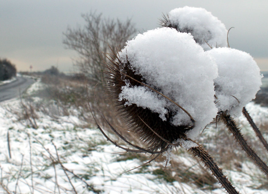 These Teasels were still covered in snow at midday.