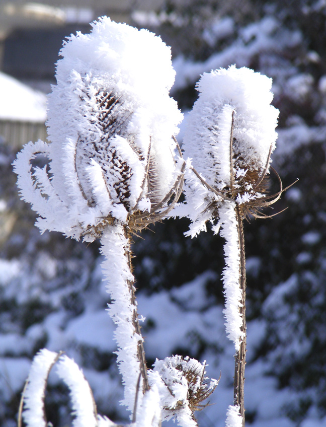 Teasel heads covered in snow