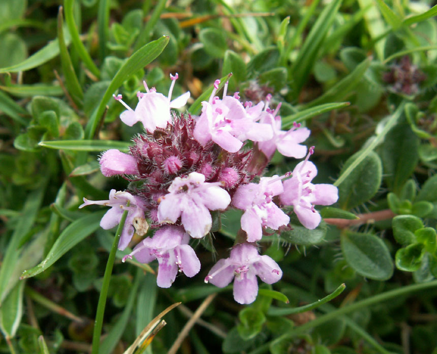 Wild Thyme on the Old Erringham pasture