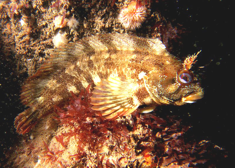 Tompot Blenny off Norfolk (Photograph by Dawn Watson)