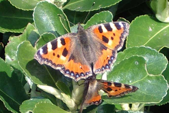 Small Tortoiseshell Butterflies (Photographs by Andy Horton)
