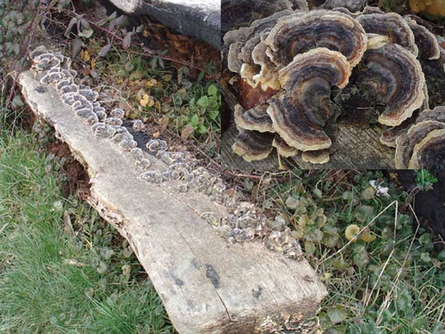 Trametes on a rotten log on the Coastal Link cyclepath