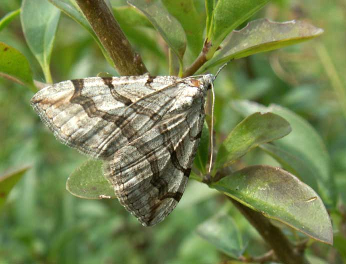 Treble-bar Moth