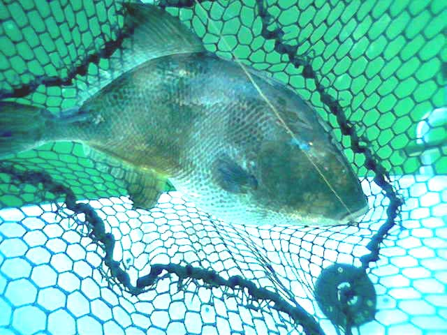 Triggerfish (Fish caught and photographed by Richard Harvey)