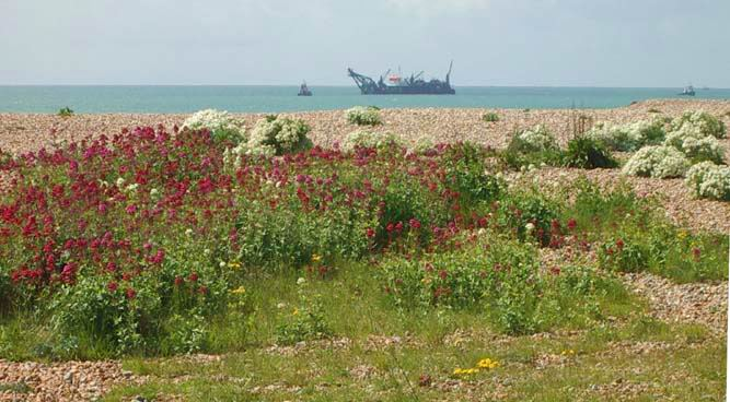 Red Valarian, Shoreham Beach west (Photograph by Andy Horton)