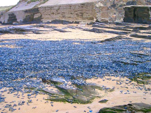 Velella on Constantine Bay beach, north Cornwall, (Photograph by Amanda Bertuchi)