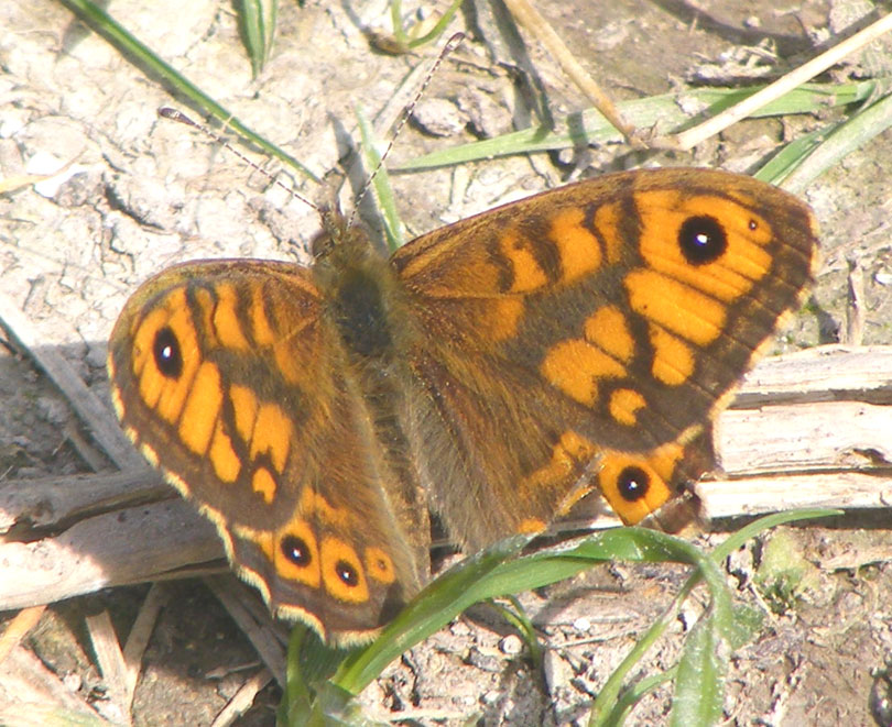 Wall Brown on Mill Hill