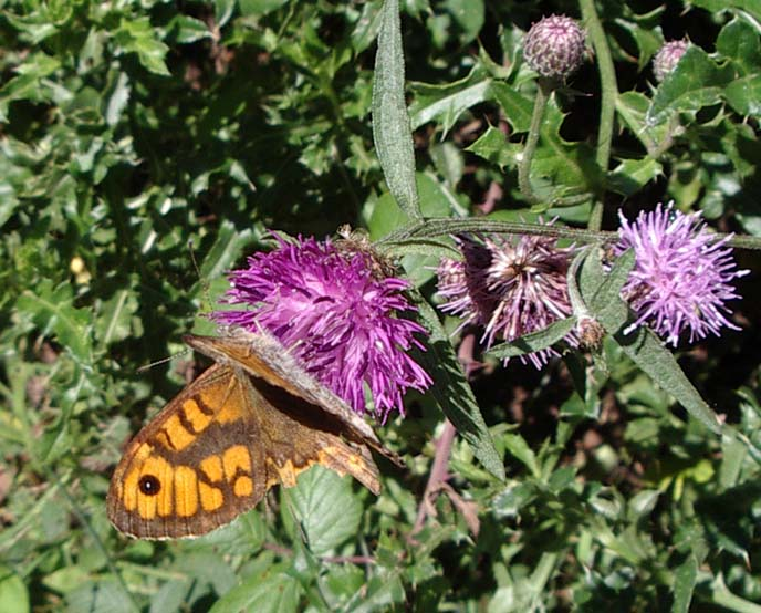 The Wall Brown is a tricky butterfly to photograph, resting fleetingly