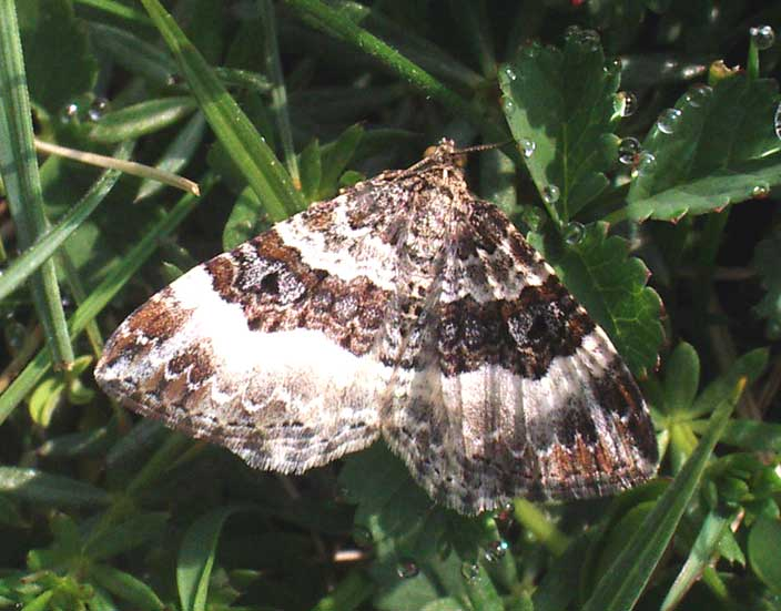 A small moth regularly seen on the Shoreham Bank