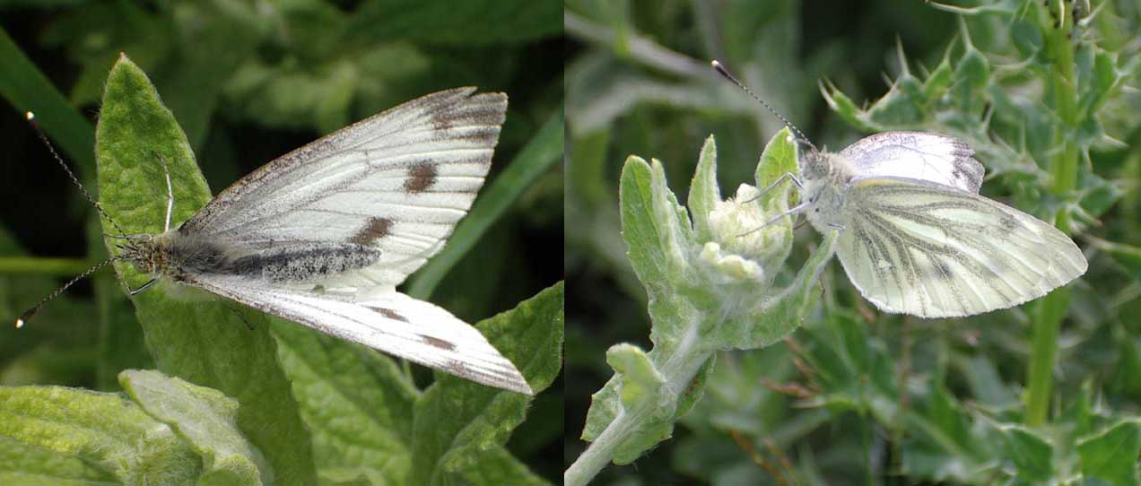 Green-veined White Butterflies (Photograph by Andy Horton)
