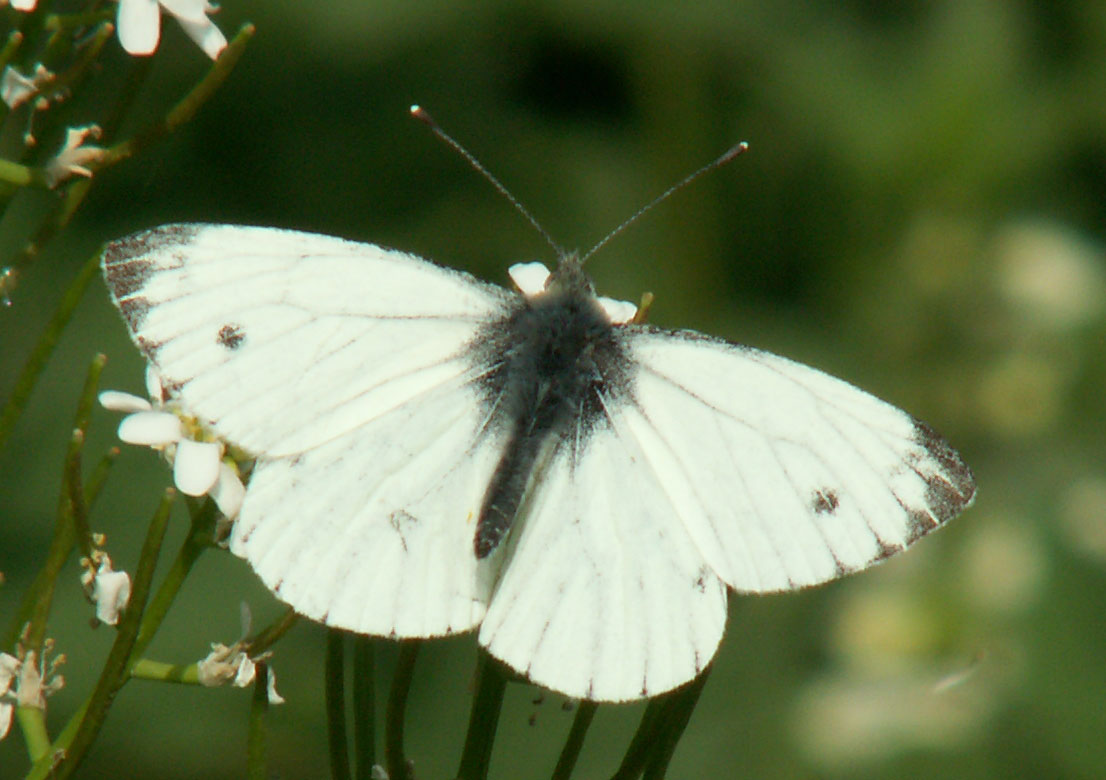 Green-veined White (not a female Orange Tip) at Cuckoo's Corner