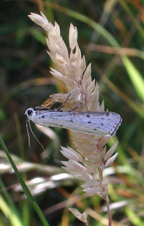 small white Ermine moth, exect species not known, on the eastern grassland (Ringlet) area of the Slonk Hill bank south