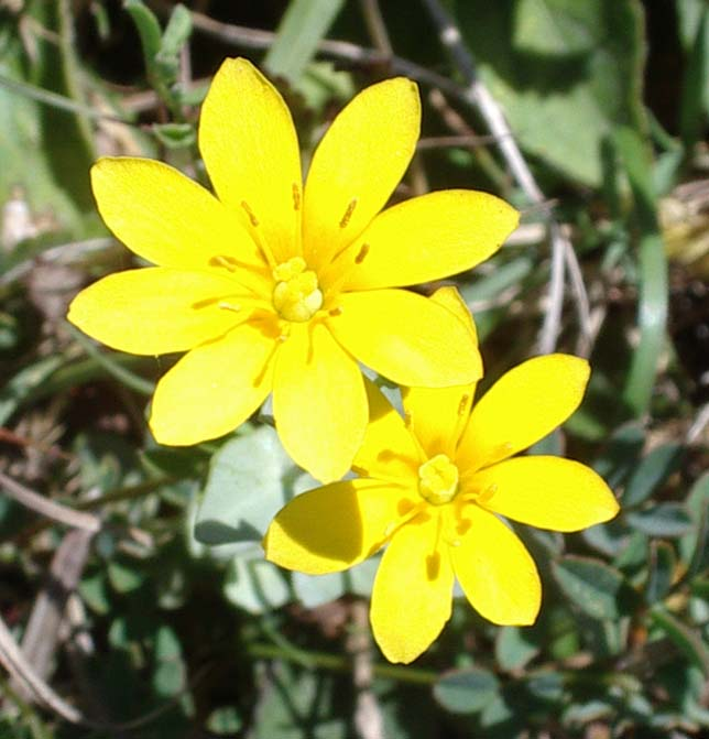 Yellow-wort (July 2003)