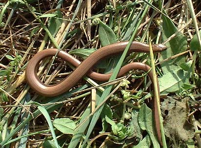 Slow Worm (Photograph by Ray Hamblett)