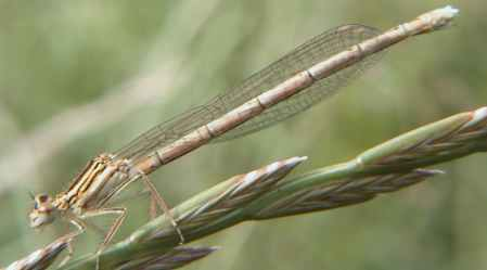 White-legged Damselfly (Photograph by Allen Pollard)