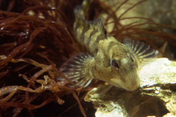 Blenny (Photograph by Andy Horton)