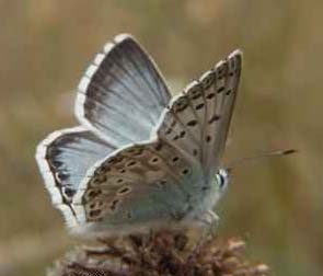 Chalkhill Blue (Photograph by Allen Pollard) showing underwing