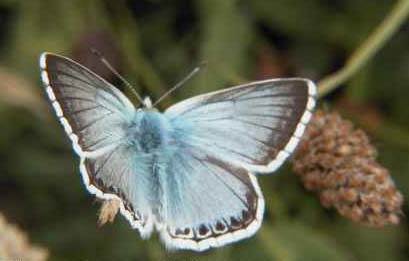 Chalkhill Blue (Photograph by Allen Pollard)