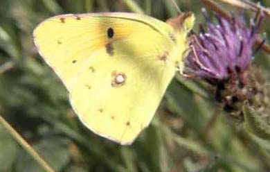 Clouded Yellow (Photograph by Allen Pollard)