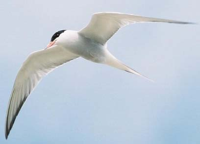 Common Tern (Photograph by Nick Jouault)
