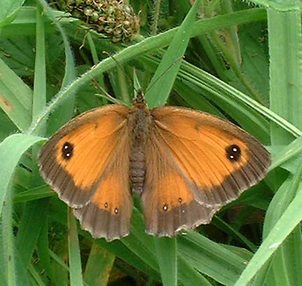 Gatekeeper Butterfly (Photograph by Ray Hamblett)