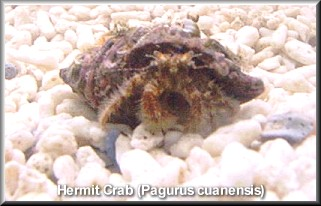 Hairy Hermit Crab, P. cuaensis (Photograph by Luke Richards, IOW)