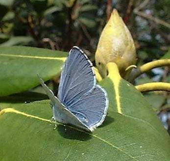 Holly Blue (Photograph by Ray Hamblett)