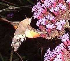Hummingbird Hawk-moth (Photograph taken in a previous year by Ray Hamblett)