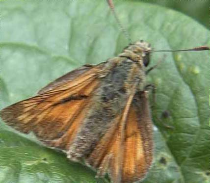 Large Skipper Butterfly (Photograph by Allen Pollard)