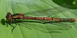 Large Red Damselfly (Photograph by Ray Hamblett)
