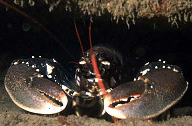 LOBSTER  (Photograph by Peter Glanvill)