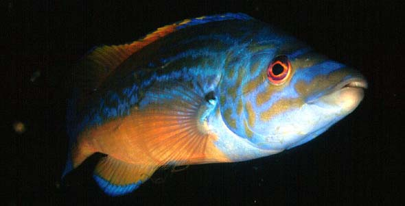 Male Cuckoo Wrasse (Photograph  by Jim Anderson)