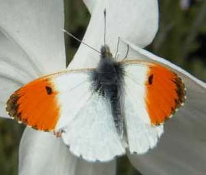 Orange Tip (Photograph by Allen Pollard)