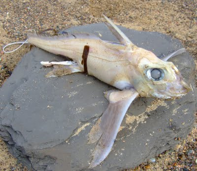 Ratfish (Photograph by Peter McGrath)