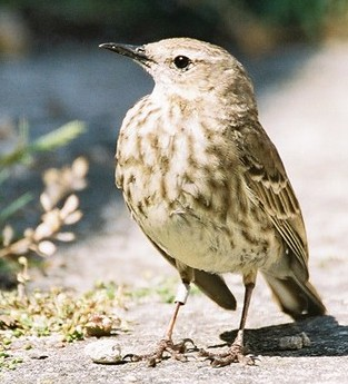 Rock Pipit on Jersey (Photograph by Nicolas Jouault)