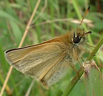 Small/Essex Skipper side view from Malthouse on 13 July 2004 (Photograph by Ray Hamblett)