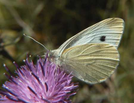 Small White Butterfly (Photograph by Allen Pollard)