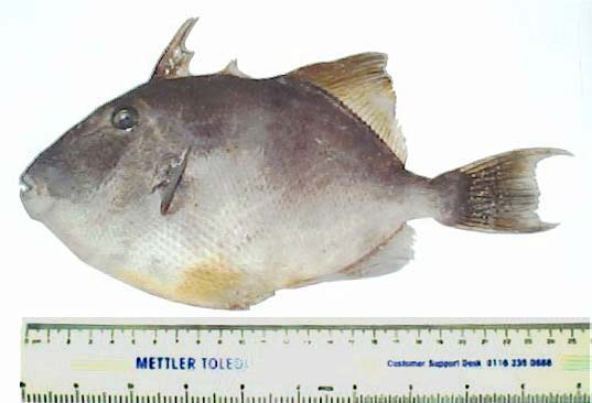 Portreath Triggerfish (Photograph by Stephen Summers)