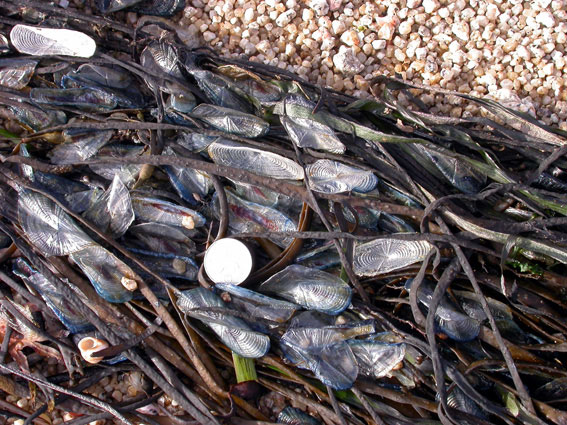 Velella (Photograph by Rosemary Parslow)