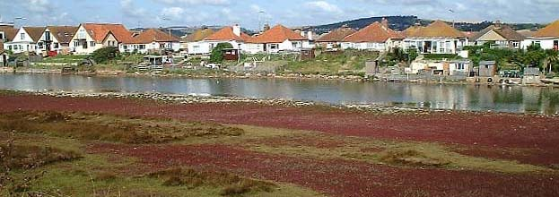 Red Glasswort on the lagoon flood plain in autumn. This colour scheme may be destroyed by a seawater pipeline. (Photograph by Ray Hamblett)