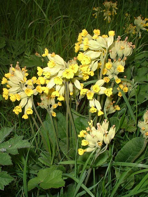 Cowslips (Photograph by Ray Hamblett)